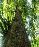 pohon-ulin
